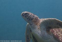 BD-151225-Apo-0054-Chelonia-mydas-(Linnaeus.-1758)-[Green-sea-turtle.-Grön-havssköldpadda].jpg